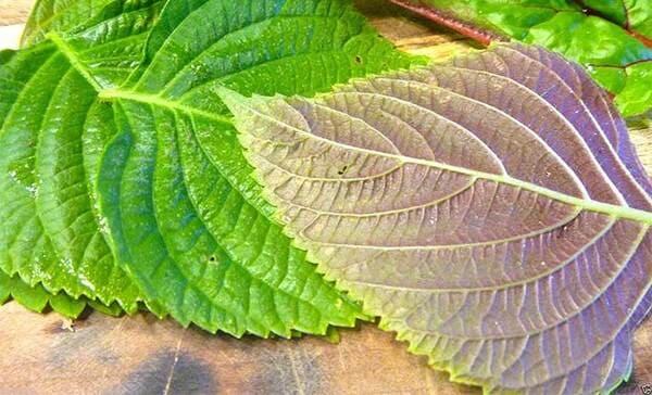 Lá tía tô rất thường được sử dụng để điều trị các bệnh ngoài da