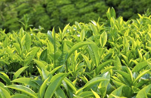 Sử dụng nước trà xanh thay nước uống hàng ngày rất tốt cho sức khỏe