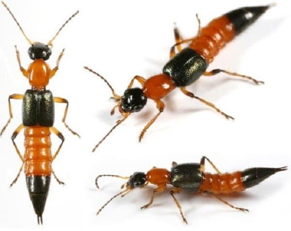 Kiến ba khoang có nọc độc gấp 14 - 15 lần rắn hổ mang