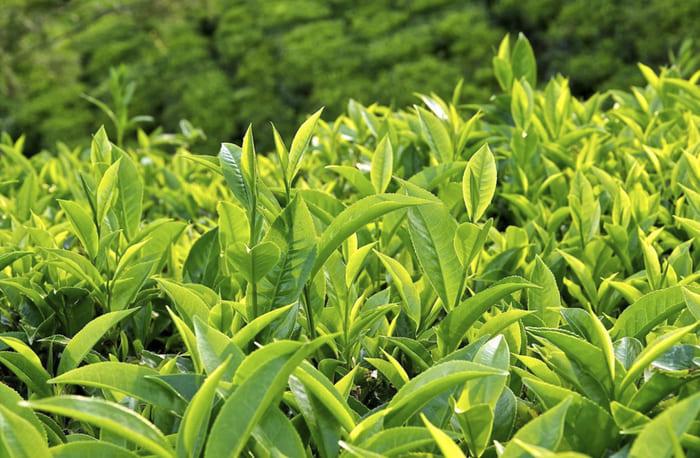 Lưu ý người bệnh nên ngâm rửa sạch lá trước khi sử dụng trà xanh